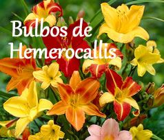 bulbos de hemerocallis